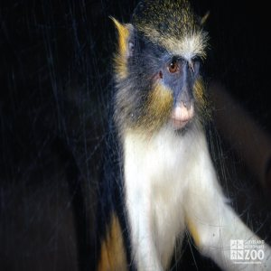 Wolf's Guenon Up Close