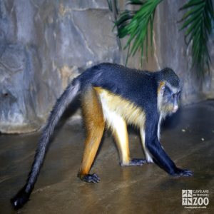 Wolf's Guenon Side View
