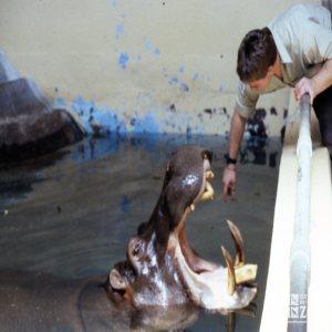 Hippopotamus, Nile Showing Teeth For Keeper