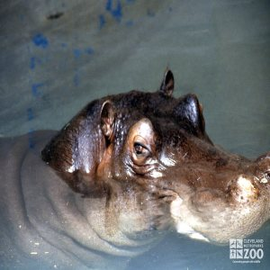 Hippopotamus, Nile Up Close Of Face