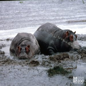 Hippopotamus, Nile Enjoying A Mud Bath