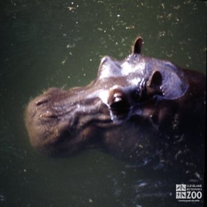 Hippopotamus, Nile Up Close Of Face 2