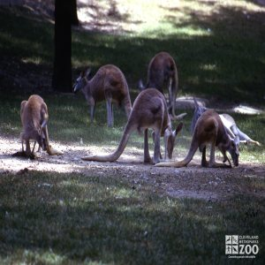 Kangaroos, Red Eating In The Grass