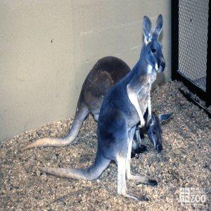 Kangaroos, Red Standing Up