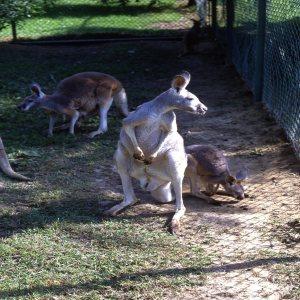 Kangaroos, Red Standing Up 2