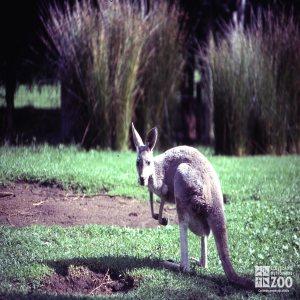 Kangaroos, Red Side View Looking Left