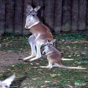 Kangaroos, Red Mom and Joey