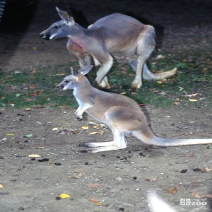 Kangaroos, Red Mom and Joey 2