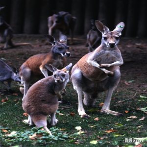 Kangaroo, Red A Mob Of Roo's