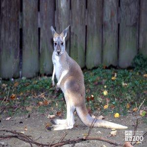Kangaroo, Red Up Close Of Joey 2