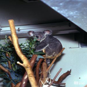 Koala, Queensland Smelling Eucalyptus