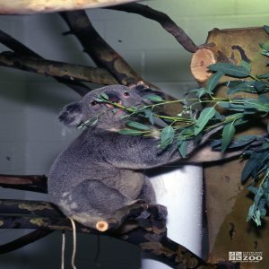 Koala, Queensland Smelling Eucalyptus 2