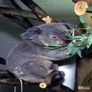 Koala, Queensland Eating Eucalyptus