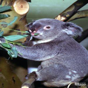 Koala, Queensland Eating Eucalyptus 2