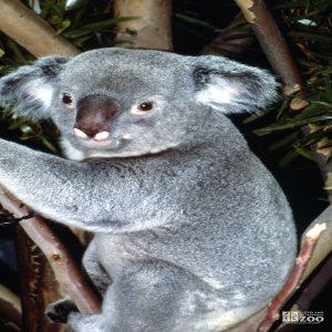 Koala, Queensland Up Close Of Face