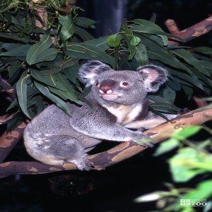 Koala, Queensland Hiding Under The Eucalyptus
