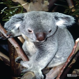 Koala, Queensland View From Above