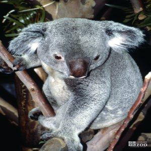 Koala, Queensland Sitting In A Tree