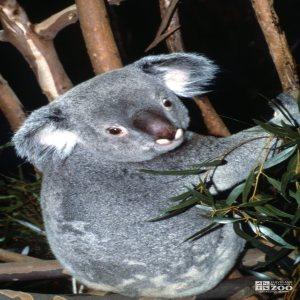 Koala, Queensland From Behind
