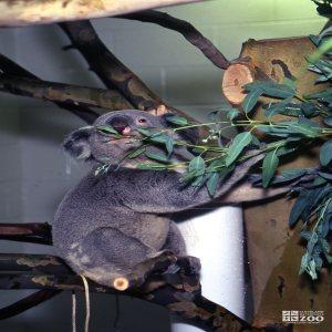Koala, Queensland Smelling Eucalyptus 3