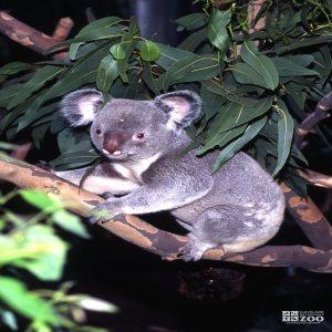 Koala, Queensland Walking On Branch 2