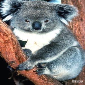 Koala, Queensland Up Close  2