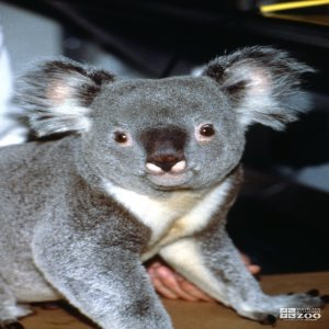 Koala, Queensland Ears Perked Up