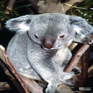 Koala, Queensland Looking Down