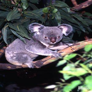 Koala, Queensland Hiding Under The Eucalyptus 2