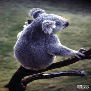 Koala, Queensland From Behind 2