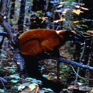 Red-Ruffed Lemur Side View