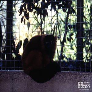 Red-Ruffed Lemur Up Close Sitting On Wall