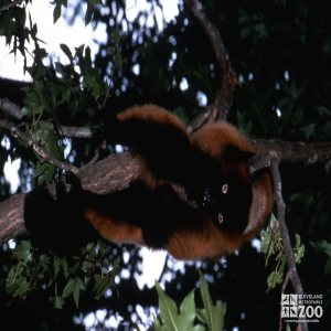 Red-Ruffed Lemur Hanging Up Side Down