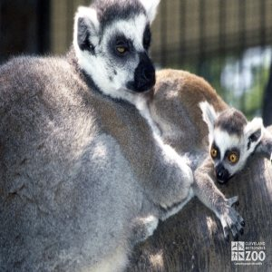 Ring-Tailed Lemur Mom and Young Lemur