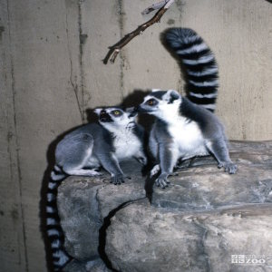 Ring-Tailed Lemurs Sitting On Rock