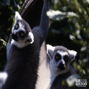 Ring-Tailed Lemurs Up Close