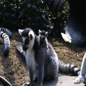 Ring-Tailed Lemur Mom With Baby On Her Back