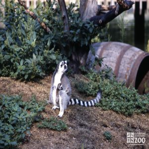 Ring-Tailed Lemur Mom Holding Baby