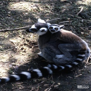 Ring-Tailed Lemur Mom With Baby On Her Back 2