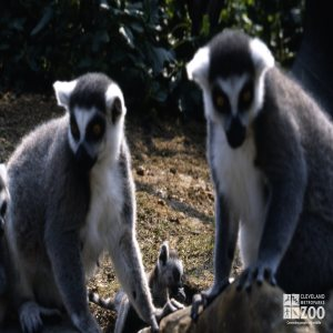 Ring-Tailed Lemurs Pair With Baby