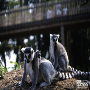 Ring-Tailed Lemurs Pair With Baby 2