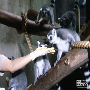 Ring-Tailed Lemurs Being Fed