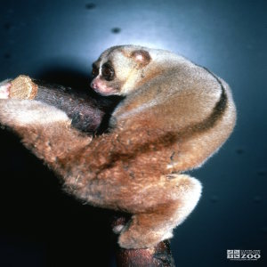 Lesser Slow Loris View From Behind