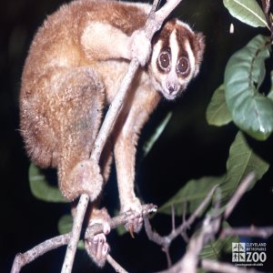 Lesser Slow Loris Hanging Out In Tree