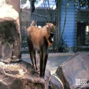 Mandrill Standing On Rock