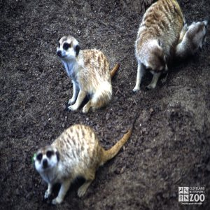 Meerkat, Trio Of Meerkats