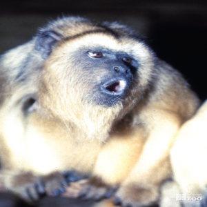 Monkey, Black Howler Up Close