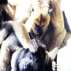 Monkey, Black Howlers Grooming Each Other
