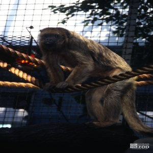 Monkey, Black Howler Getting Up On Ropes