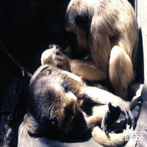 Monkey, Black Howlers Grooming Each Other 2